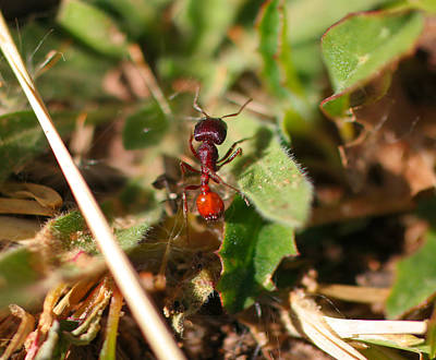 Macro Of A Red Ant Poster by Jeff Swan