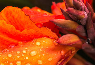 Macro Water Drops On A Red Canna Flower Poster by John Williams