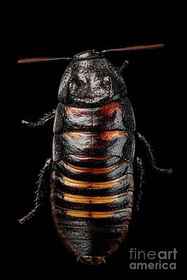 Madagascar Hissing Cockroach , Gromphadorhina Portentosa, Isolated On Black Background Poster by Sergey Taran