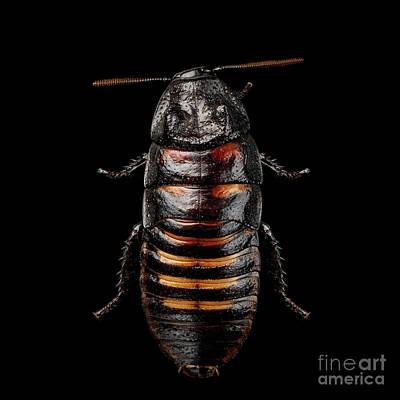 Madagascar Hissing Cockroach Poster by Sergey Taran