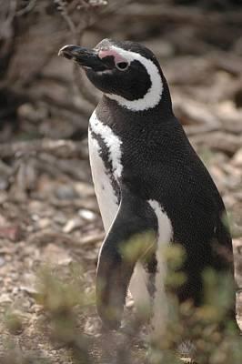 Magellanic Penguin No. 1 Poster