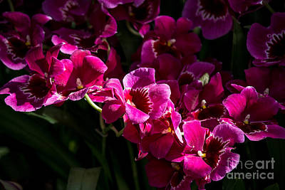 Magenta Orchids Poster by Fiona Craig