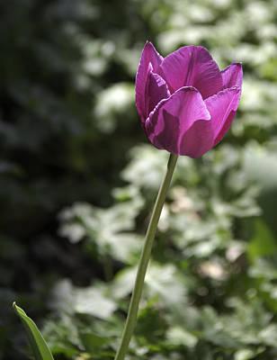 Magenta Tulip Poster by Teresa Mucha