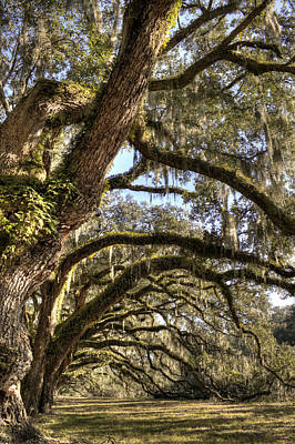 Magnificant Live Oak Trees Color Poster by Dustin K Ryan