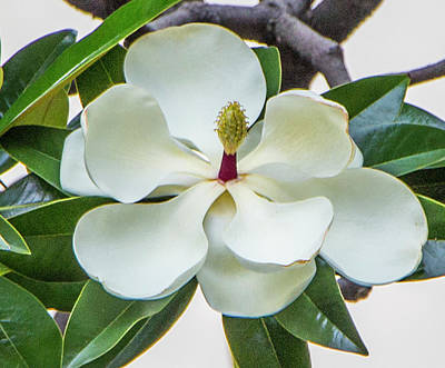 Magnolia Blossom In Uruguay Poster by Venetia Featherstone-Witty