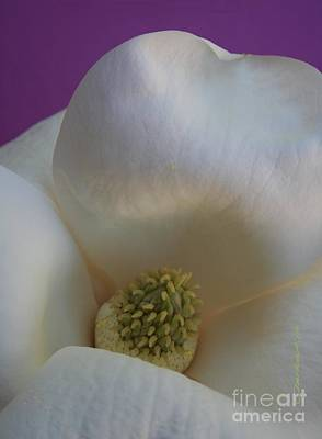 Magnolia Macro Against Purple Poster