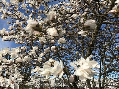 Poster featuring the photograph Magnolia Tree In Blossom by Patricia Hofmeester