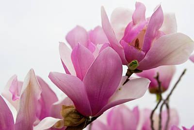 Magnolia's Grandeur Poster by Gwen Vann-Horn