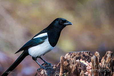 Magpie On The Stump Poster by Torbjorn Swenelius