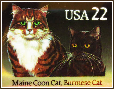 Maine Coon Cat And Burmese Cat Poster by Lanjee Chee