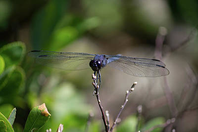 Poster featuring the photograph Maine Dragonfly by Kirkodd Photography Of New England