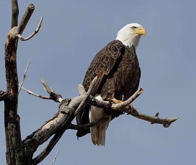 Majestic Bald Eagle Poster by Shawn Mason