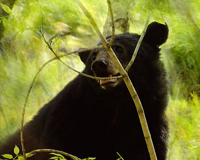Majestic Black Bear Poster