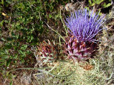 Majestic - Cirsium Purple Plume Thistle Poster