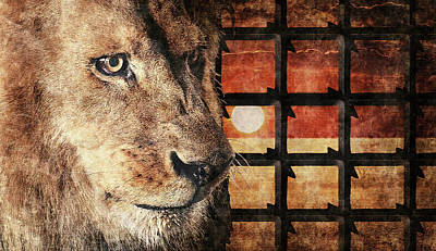 Majestic Lion In Captivity Poster