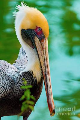 Majestic Pelican 48 Poster