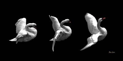 Majestic Swan Triptych Poster
