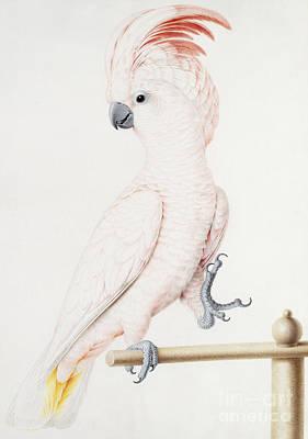 Major Mitchell's Cockatoo Poster by Nicolas Robert
