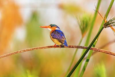 Malachite Kingfisher Hunting Poster