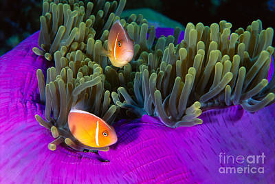 Malaysia, Anemonefish Poster by Ed Robinson - Printscapes