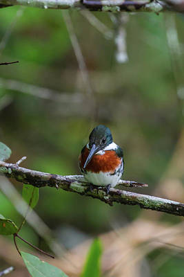 Poster featuring the photograph Male Amazon Kingfisher by John Haldane