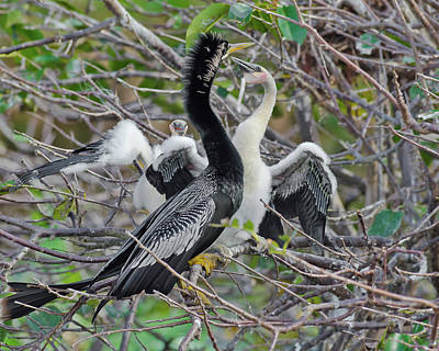 Male Anhinga And Chicks Poster by Morris Finkelstein