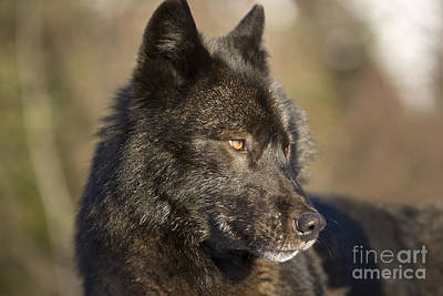 Male Black Wolf Poster by John Hyde - Printscapes