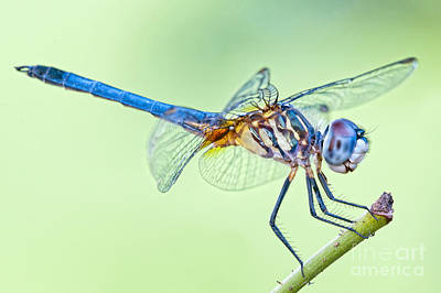 Male Blue Dasher Dragonfly Poster