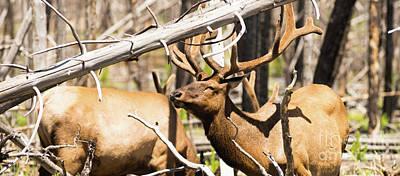 Male Bull Elk Weathering Harsh Sun Feeding Yellowstone Poster