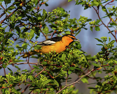 Male Bullock's Oriole Poster by TL Mair