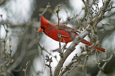 Male Cardinal Poster by Gregory Scott