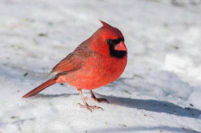 Male Cardinal In Winter Poster by Kenneth Cole