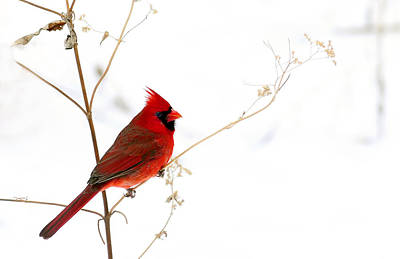 Male Cardinal Posing In The Snow Poster