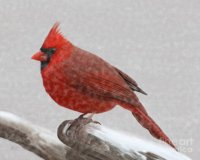 Male Cardinal In Snow Poster by Rand Herron