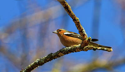 Male Common Chaffinch Bird, Fringilla Coelebs Poster by Elenarts - Elena Duvernay photo