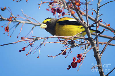 Male Evening Grosbeak Poster by Todd Bielby