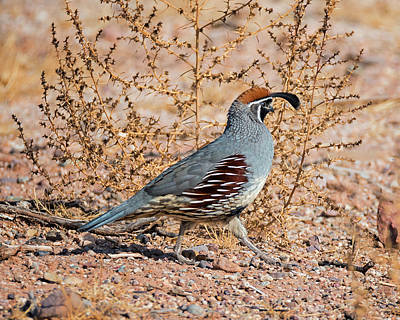 Male Gambels Quail Poster by Loree Johnson
