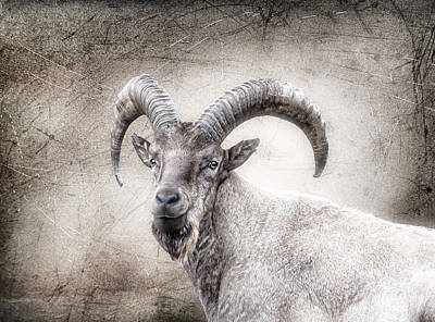 The Wild Goat With The Beard Poster