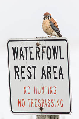 Male Kestrel Breaking All The Rules Poster