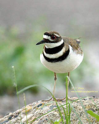 Male Killdeer Poster by Mary Dreher