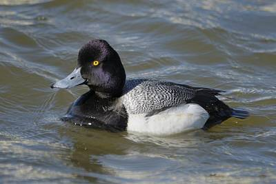 Poster featuring the photograph Male Lesser Scaup On The Water by Bradford Martin