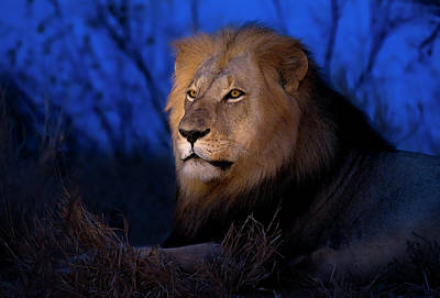 Male Lion At Dusk Poster by Stu  Porter