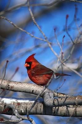 Male Northern Cardinal Bird Poster