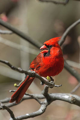 Male Northern Cardinal In Spring Poster