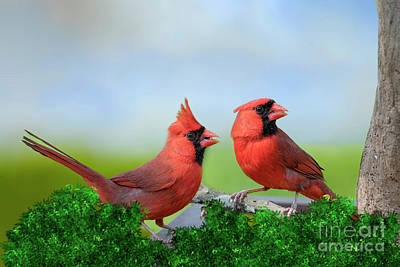 Male Northern Cardinals In Spring Poster by Bonnie Barry
