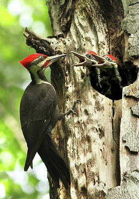 Male Pileated Woodpecker At Nest Poster