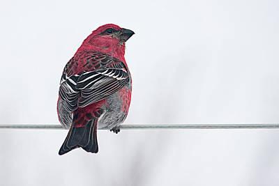 Male Pine Grosbeak Poster