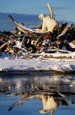 Male Polar Bear With Eyes Closed On The Whale Bone Pile On Barte Poster