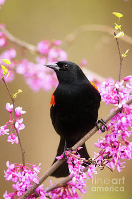 Male Red Wing Black Bird Poster