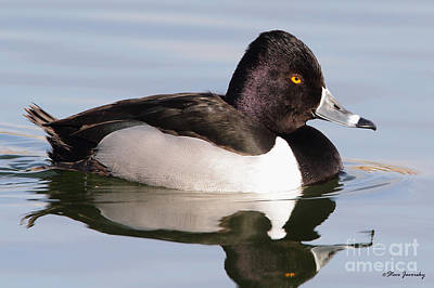 Male Ring Necked Duck Poster